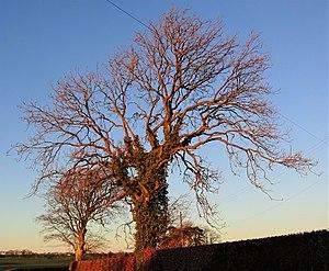 Ash tree canopy, Chapeltoun, North Ayrshire