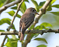 Asian Brown Flycatcher (Muscicapa dauurica) - Flickr - Lip Kee (1).jpg