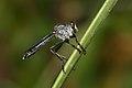 Asilidae-Kadavoor-2016-06-25-001.jpg
