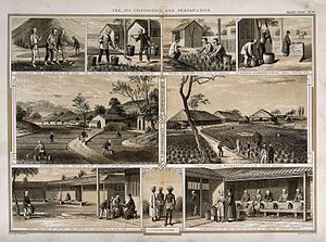 Tea processing - An 1850 British engraving showing tea cultivation and tea leaf processing