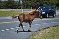 Assateague Island horses August 2009 4.jpg