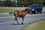160px assateague island horses august 2009 4