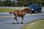 Assateague Island horses August 2009 4