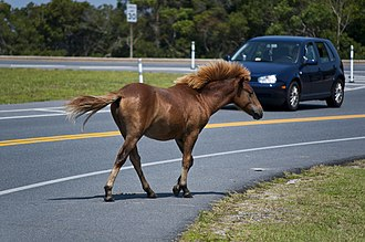 Chincoteague Pony - Ponies often come into close contact with humans, even in their native environment.