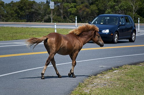 On Maryland's Atlantic coastal islands: A feral Chincoteague Pony on Assateague Assateague Island horses August 2009 4.jpg