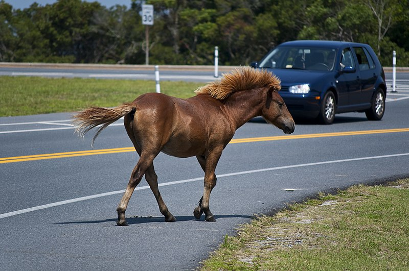 File:Assateague Island horses August 2009 4.jpg