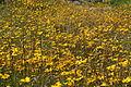 Asteraceae sp.-IMG 7615.JPG