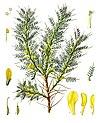 Astragalus brachycalyx - Köhler–s Medizinal-Pflanzen-166.jpg