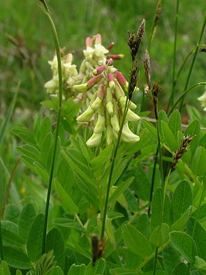 Gletscher-Tragant (Astragalus frigidus)