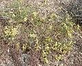 Astragalus lentiginosus 6.jpg