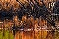 At Ned Roberts Lake…evening light in the reeds (8727147185).jpg