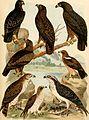 Atlante ornitologico - uccelli europei - con notizie d'indole generale e particolare (1902) (14749491115).jpg