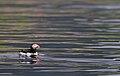 Atlantic puffin (Fratercula arctica) 02.jpg