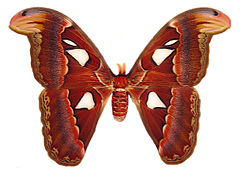Pawica atlas (Attacus atlas)