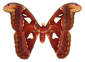 Atlas moth female.jpg
