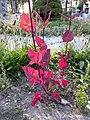 Atriplex hortensis sl2.jpg