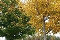 Autumn sycamores, Leitfie, near Alyth - geograph.org.uk - 1011365.jpg