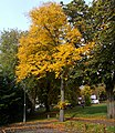 Autumn trees on Sutton Green, SUTTON, Surrey, Greater London (5).jpg