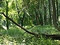 Auwald in den Donau-Auen 9.JPG