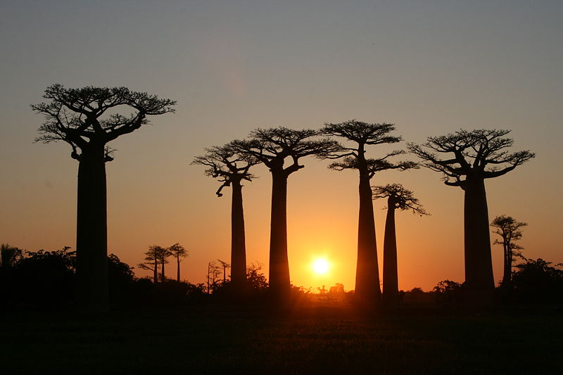 File:Avenue of the Baobabs at Sunset.jpg