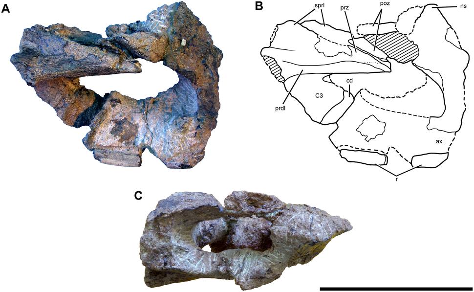 Axis and cervical vertebra of Sarmientosaurus