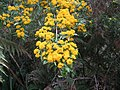 Azara lanceolata en flor..jpg