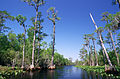 Bald Cypress swamp.jpg