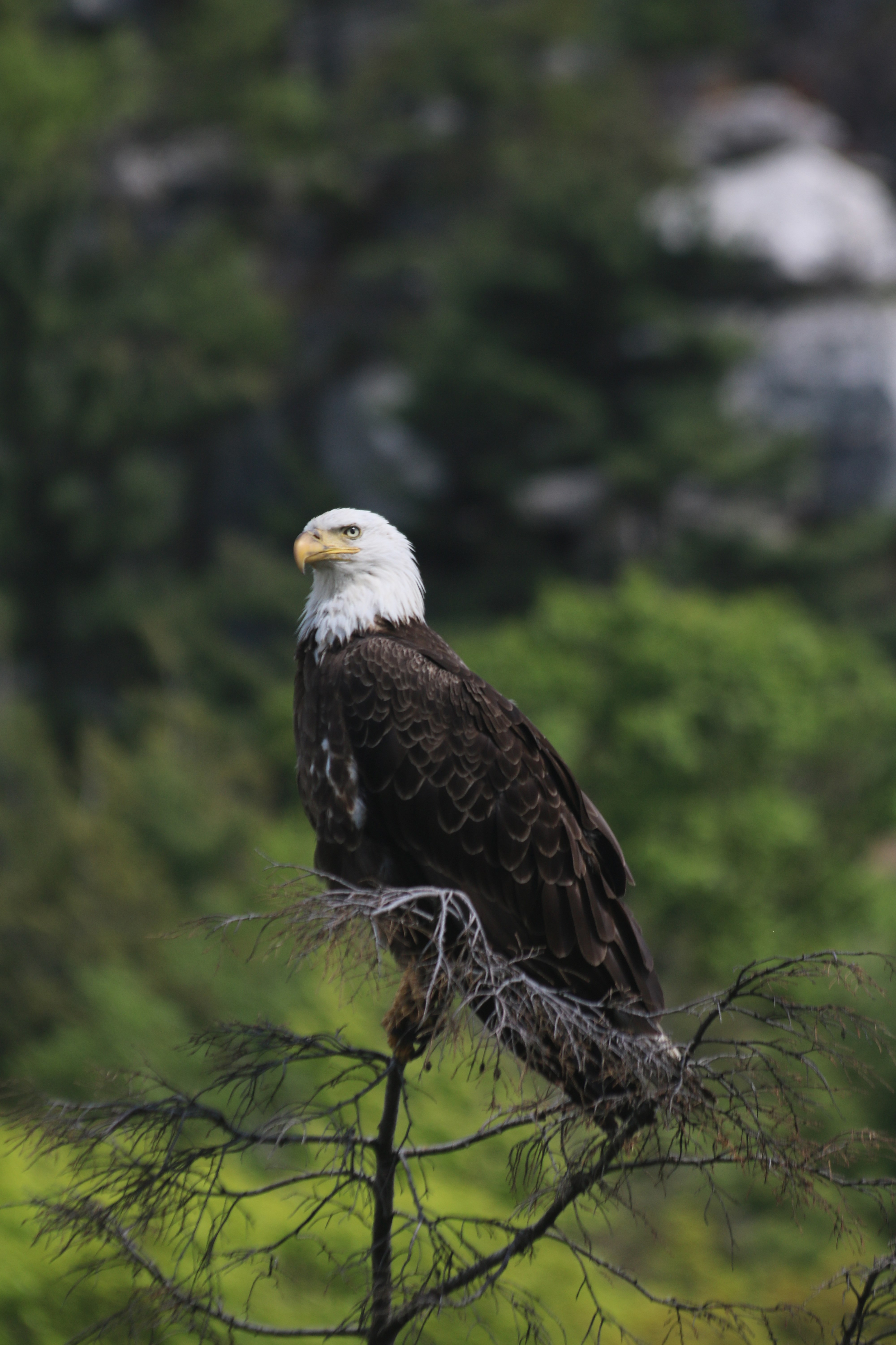 file bald eagle perched on a branch jpg wikimedia commons
