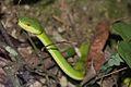 Bamboo Pit Viper (Trimeresurus albolabris) 青竹蛇 (5835498601).jpg