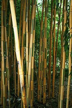 Bambouseraie de Prafrance, près d'Anduze, Gard, France. Bambous bicolores.jpg