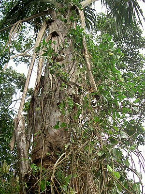 English: Banisteriopsis caapi, Province of Pas...
