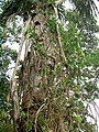 Banisteriopsis caapi vine.JPG