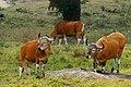 Banteng, Bos javanicus bulls at mineral deposit in Huai Kha Khaeng (20806480202).jpg