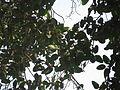 Banyan tree fruit 01.JPG