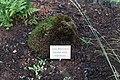Barßel - Moor- und Fehnmuseum - Moorlehrgarten - Polytrichum strictum 01 ies.jpg