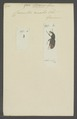 Baris - Print - Iconographia Zoologica - Special Collections University of Amsterdam - UBAINV0274 030 04 0022.tif