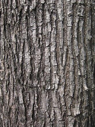Pterocarpus indicus - Bark of Pterocarpus indicus in Kowloon, Hong Kong