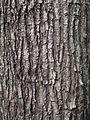 Bark of Pterocarpus indicus.jpg