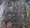 Bark patterns, Sycamore, Lainshaw Woods, Stewarton.jpg