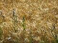Barley, Finland.jpg