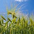 Barley (18889050150).jpg