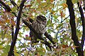 Barred owl in Central Park (45915344681).jpg