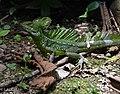 Basilic vert (Basiliscus plumifrons).jpg