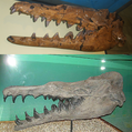 Basilosaurus isis and cetoides skulls compared.png