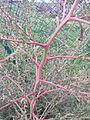 Bassia scoparia subsp. densiflora sl 12.jpg