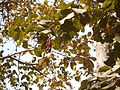 Bauhinia foveolata (8482295892).jpg