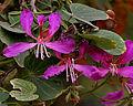 Bauhinia purpurea (Kaniar) in Hyderabad, AP W2 IMG 2574.jpg