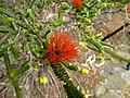 Beaufortia squarrosa (leaves, flowers).JPG