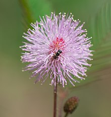 Bee-on-mimosa-pudica-flower.jpg