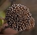 Bee balm seedhead (70429).jpg